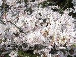 little_tamagawa_spring4.JPG